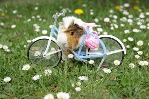 guinea-pig-470697_640